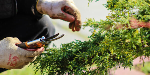 Gardener trimming bush